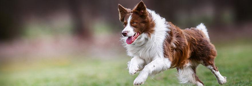 Giardiose chien